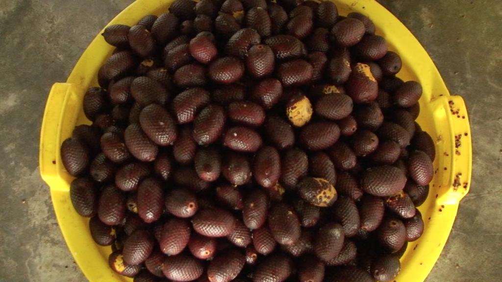 documentaire-fruit-aguaje-huile-fabrication